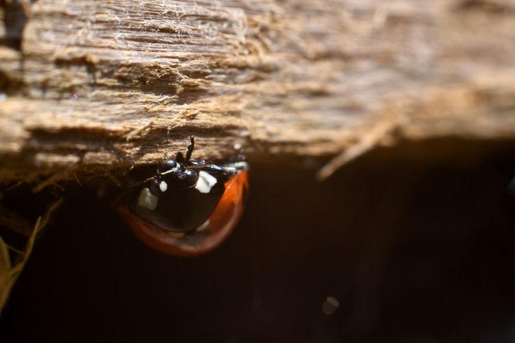 Ladybug Wood