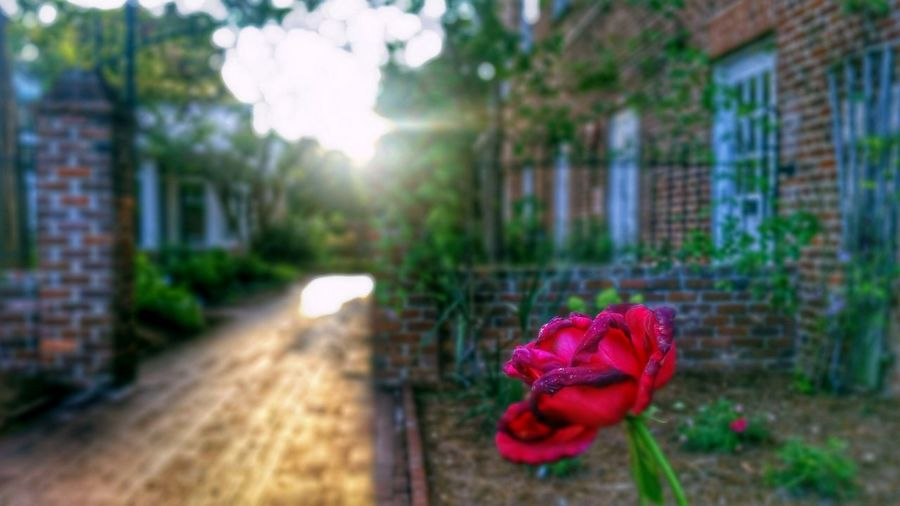 Good morning! 🌷✌❤ -- HDR Hdr_Collection Hdr Edit Flower Flower Head Rose - Flower Plant Petal Fragility Red Close-up Macro Macro_collection Focus On Foreground Selective Focus Freshness Sunlight Bokeh No People Outdoors Day Nature Beauty In Nature Building Exterior Architecture