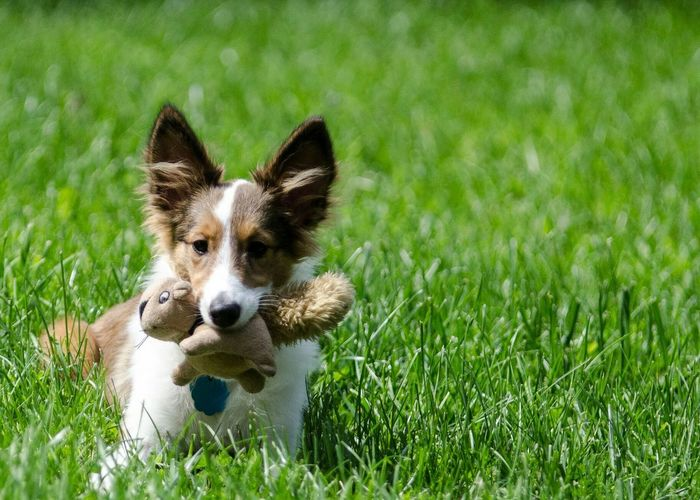 Portrait of dog carrying toy in mouth on grassy field