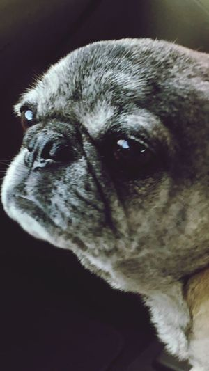 Pets One Animal Domestic Animals Animal Themes Dog Mammal Animal Head  Close-up Indoors  No People Portrait Day pug