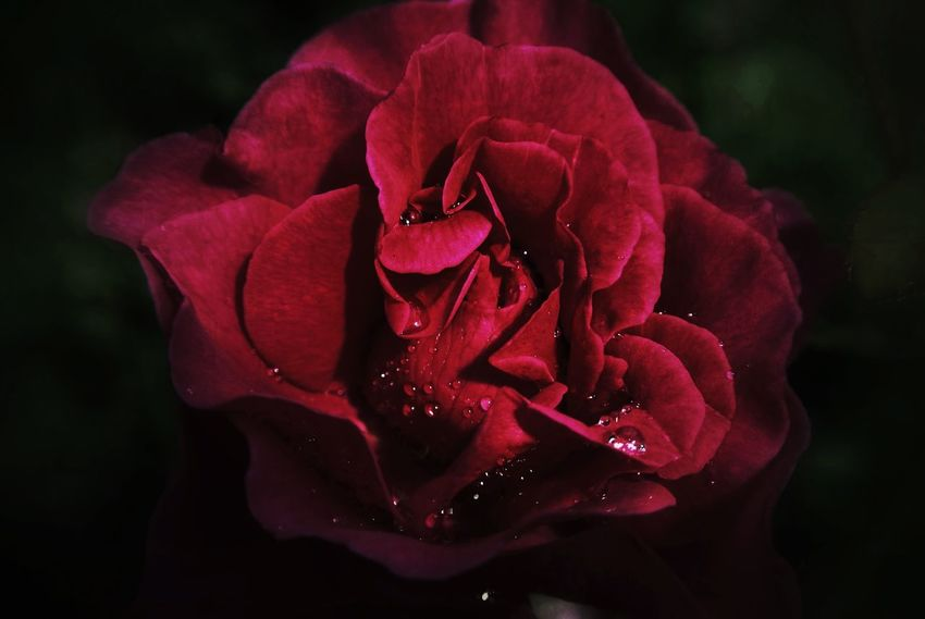 Beauty In Nature Black Background Blooming Close-up Day Drop Flower Flower Head Fragility Freshness Growth Nature No People Outdoors Petal Plant Red Rose - Flower Water