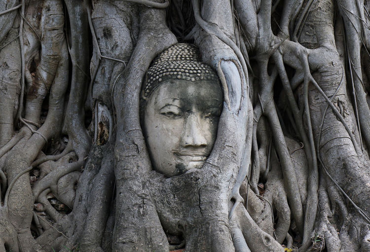Buddha head statue is entwined with Banyan tree roots at Wat Mahathat in Ayutthaya, Thailand. Ayutthaya Banyan Tree Buddha Buddhist Thailand Tourist Attraction  Travel Photography Wat Maha That Wat Mahathat Art And Craft Balete Tree Banyan Banyan Tree Roots Buddha Head Buddhism No People Outdoors Sculpture Stone Sculpture Stone Statue Temple Travel Destinations Tree Roots
