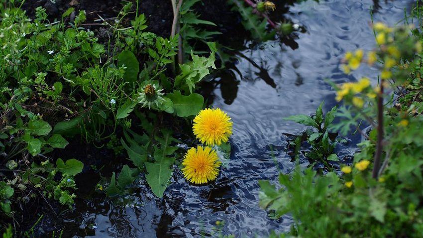 dip it/せせらぎに EyeEm Flower EyeEm Nature Lover CanonFD  Photowalk #oldlens