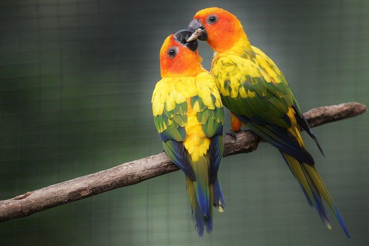 Close-up of sun parakeets feeding on stick at zoo