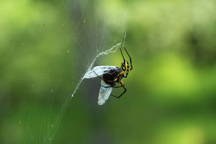 Close-up of spider with prey on web