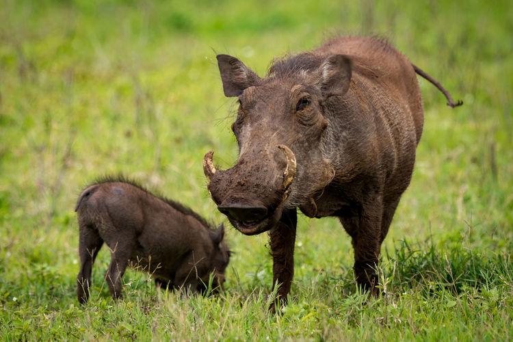 Wild boars on grassy field