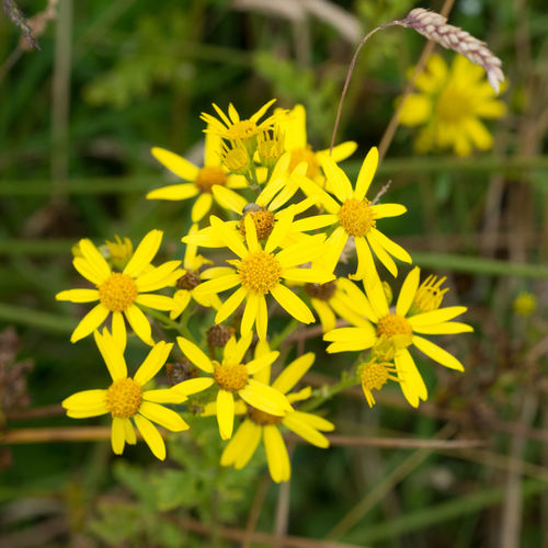 Ragworth on the Isle Of Skye, Scotland Jacobaea Vulgaris Scotland Beauty In Nature Blooming Close-up Day Flower Flower Head Fragility Freshness Growth Isle Of Skye Nature No People Outdoors Petal Plant Poisonous Ragwort Yellow
