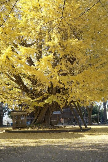 My Year My View Tree Yellow Gold Colored Nature Beauty In Nature Colour Of Life