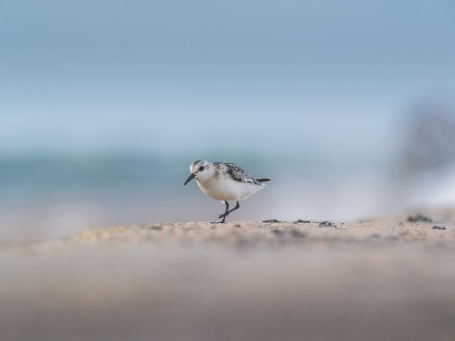 Helgoland Bird Birding Sanderling Animal Animal Themes Animal Wildlife One Animal Vertebrate Animals In The Wild Day Nature Selective Focus No People Sea Land Outdoors Beach Copy Space Perching Water Sky Full Length Seagull