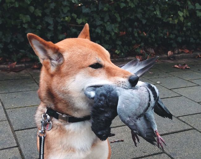 Dog carrying pigeon in mouth