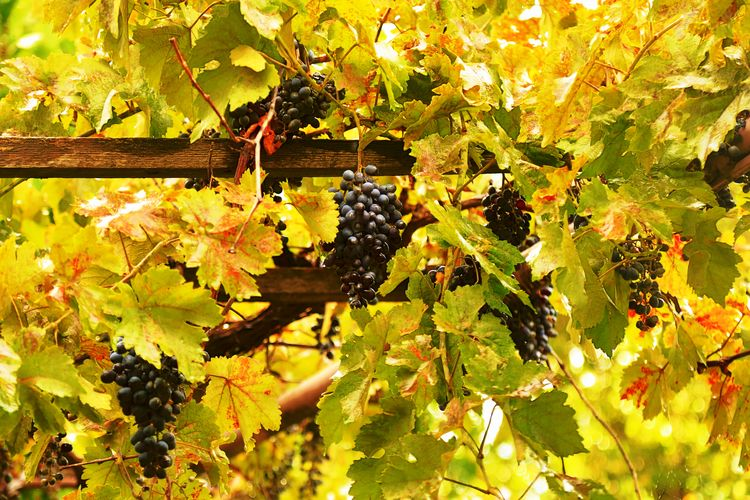 A ripe grapes and yesllow leaves in the garden in autumn