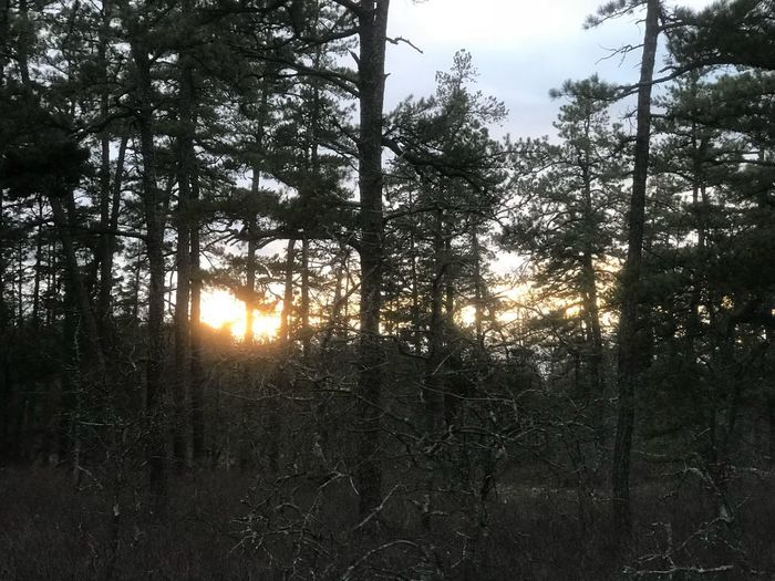 Sundown in the Piney woods. #sun Tree Plant Sky Nature Sunset Tranquility Growth Sunlight Beauty In Nature Scenics - Nature Forest Land Sunbeam Branch Tranquil Scene