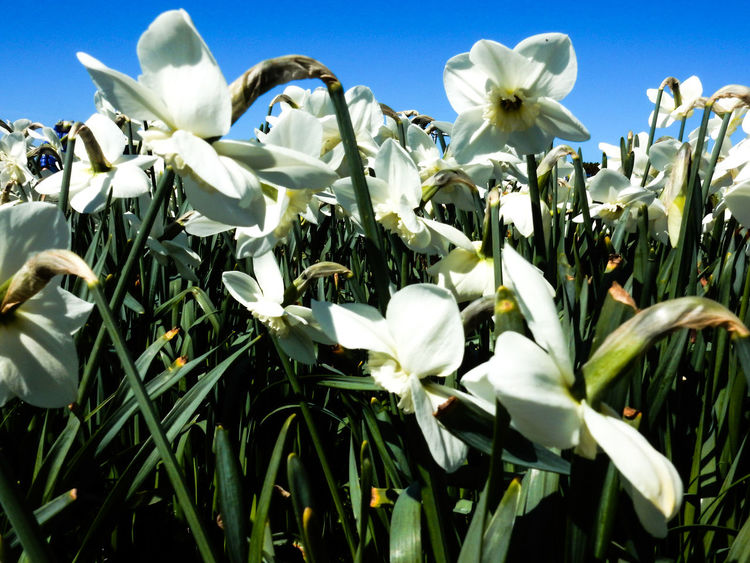 Ein weißer Traum - aber nicht aus Schnee 😊 White Color Springtime Spring Flowers Frühling Narzissen Blooming Germany Photos Official EyeEm © EyeEm Germany GERMANY🇩🇪DEUTSCHERLAND@ The Week On EyeEem EyeEm Best Shots EyeEmNewHere Frühlingsfarbe