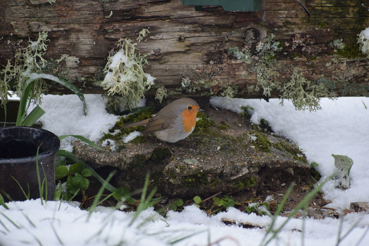 VIEW OF BIRD PERCHING ON SNOW COVERED PLANTS