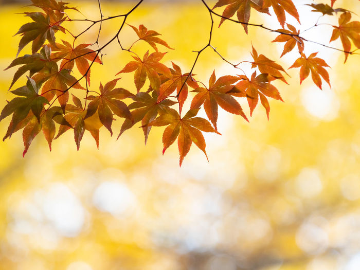 Leaf Autumn Plant Part Beauty In Nature Nature Maple Leaf Change No People Maple Tree Plant Tree Orange Color Close-up Branch Outdoors Sunlight Backgrounds Yellow Day Growth Leaves Natural Condition