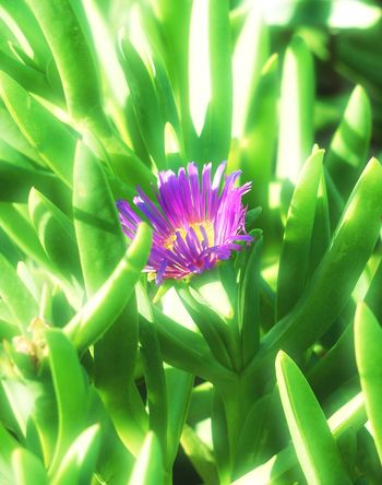 Carpobrotus (pigface) with single purple flower. Beauty In Nature Blooming Blossom Botany Carpobrotus Close-up Day Flower Flower Head Focus On Foreground Freshness Green Green Color Growth In Bloom Leaf Nature Outdoors Petal Pigface Plant Purple Selective Focus