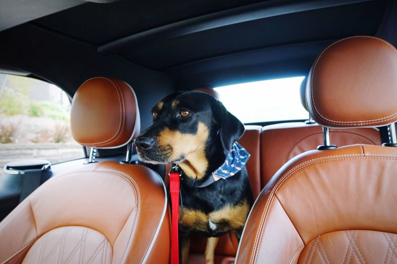 EyeEm Selects Canine Dog Domestic Motor Vehicle Pets Mode Of Transportation Vehicle Interior Car Interior One Animal Mammal Car