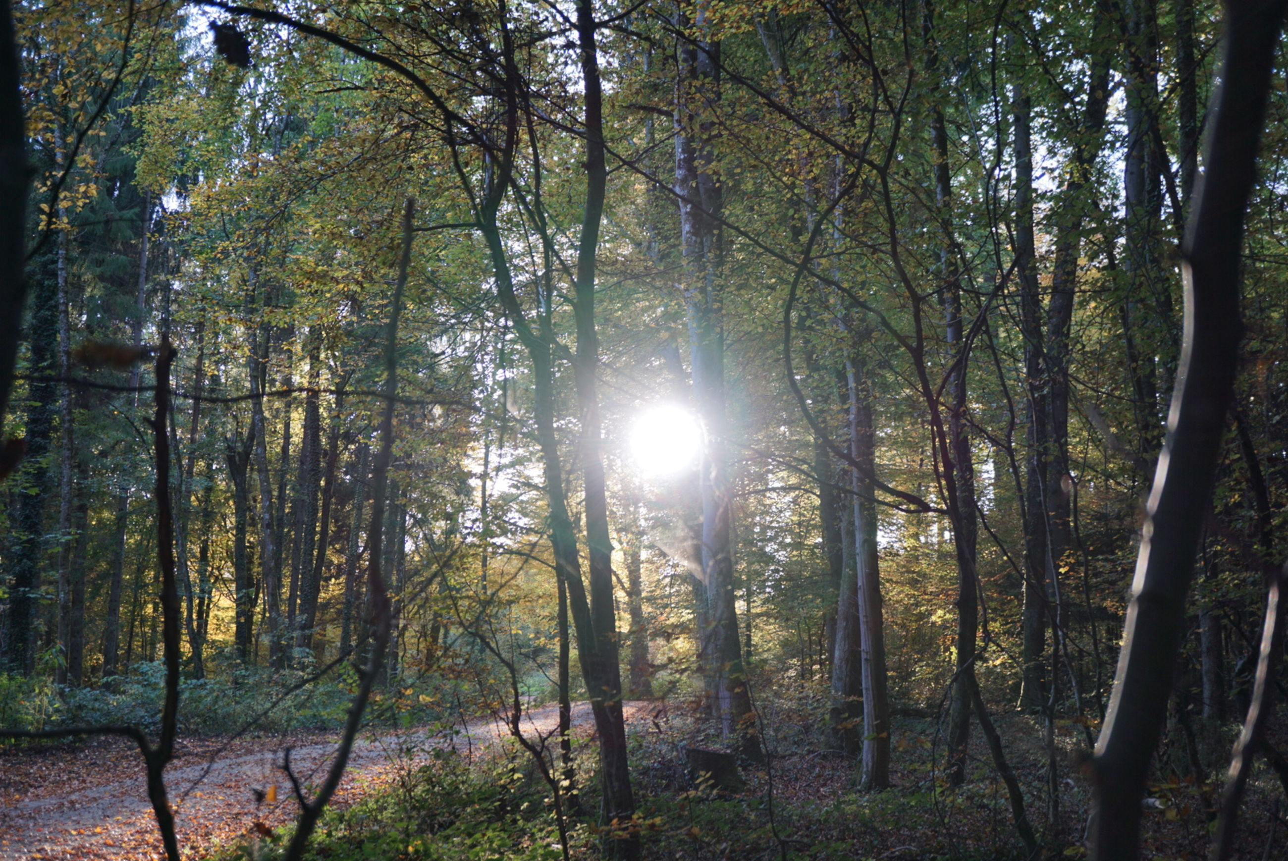 nature, tree, forest, tranquility, beauty in nature, sunlight, sun, outdoors, scenics, no people, landscape, day, growth, branch