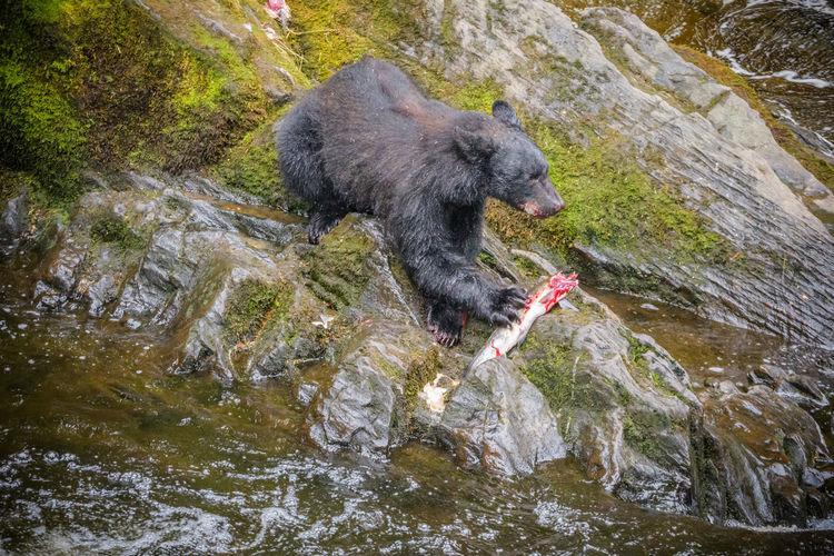 Black bear in