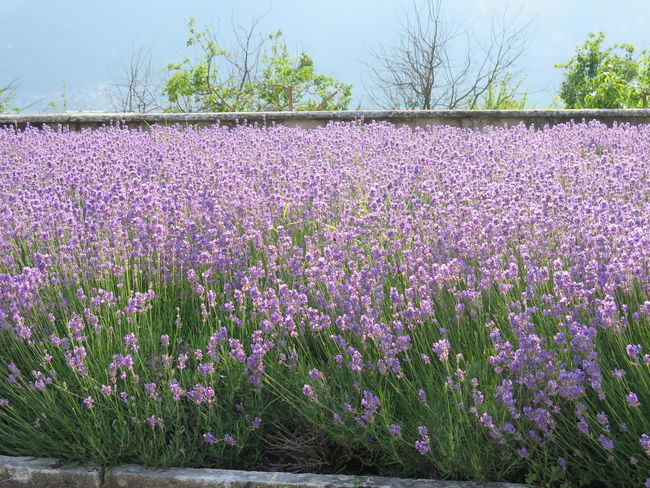 Abundance Beauty In Nature Crocus Day Field Flower Flower Head Fragility Freshness Growth Landscape Lavender Lavender Colored Nature No People Outdoors Pink Color Plant Purple Rural Scene Scenics Sky Tranquility Tree