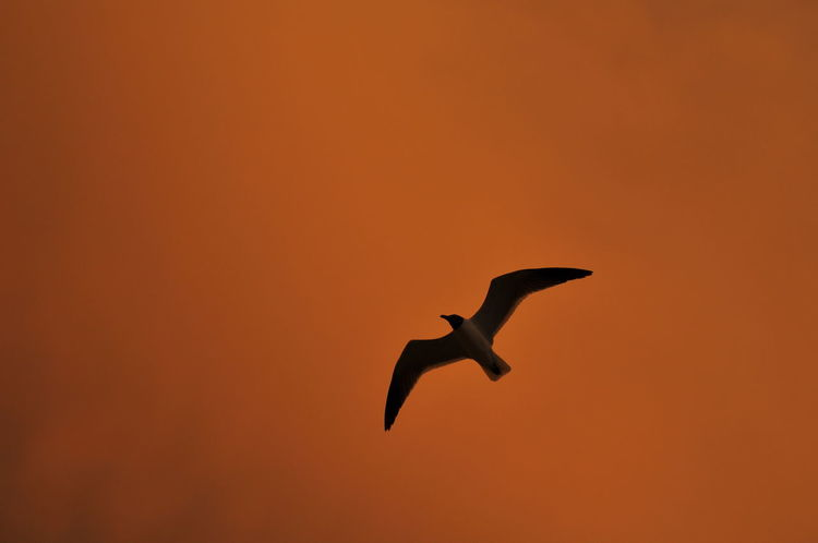 Bird in flight over the pier at sunset in clearwater florida The Great Outdoors - 2016 EyeEm Awards Beauty In Nature Bird Clearwater Clearwater Florida Clearwaterbeach Florida Flying Freedom Low Angle View Mid-air Nature No People Orange Color Orange Sky Red Clouds Red Sky Seagull SEAGULL IN FLIGHT Seagulls Sky Spread Wings Sun Sunset Wildlife