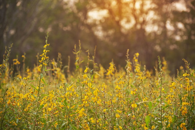 Sunlight over the field of sunn hemp field Plant Yellow Land Beauty In Nature Flower Growth Field Flowering Plant Nature Outdoors Landscape Flowerbed Freshness Day Sunn Hemp Yellow Color Sunlight Park Beauty In Nature