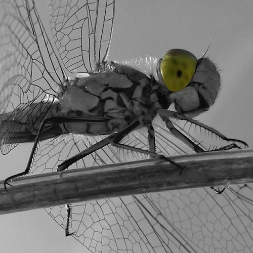 Dragonfly Insect Photography Insects  Nature EyeEm Nature Lover Photoart Art Macro Blackandwhiteandcolor Colorlover