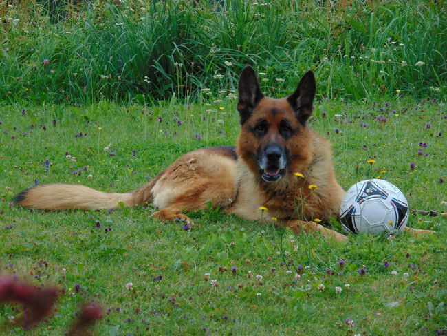 Animal Themes Brown Canine Cute Day Dog Domestic Animals Field Grass Grassy Green Color Growth Lawn Lying Down Mammal Nature No People Outdoors Pet Collar Pets Portrait Puppy Relaxation Resting