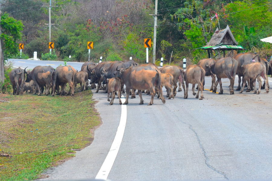 Animal Crossing The Road Animal Themes Buffaloes Cattle Day Domestic Animals Herd Of Buffaloes Crossing The Road Large Group Of Animals Mammal Nature Outdoors Road Tree Water Buffaloes
