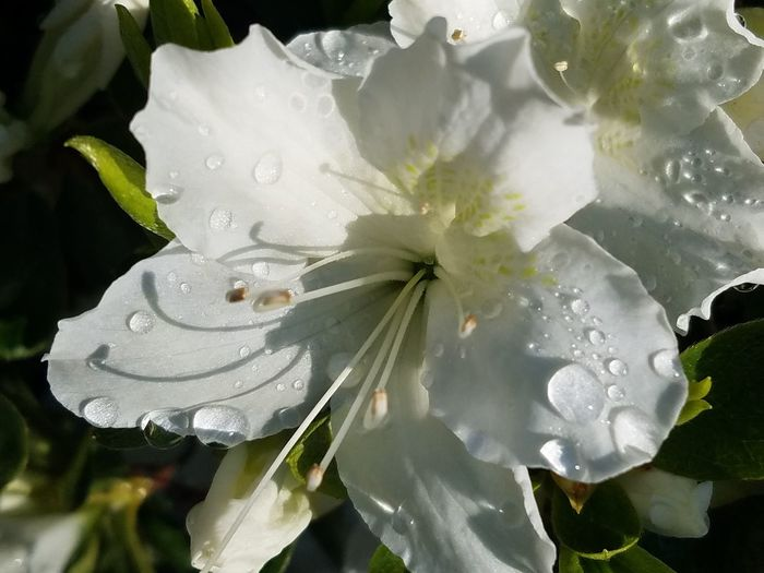 Flower Close-up Water Fragility No People Nature Freshness Beauty In Nature Flower Head Day Outdoors White Flower Raindrops On Petals Azalea White Flower Petals Popular Photos Raindrops💧 Springtime The Purist (no Edit, No Filter) EyeEm Nature Lover