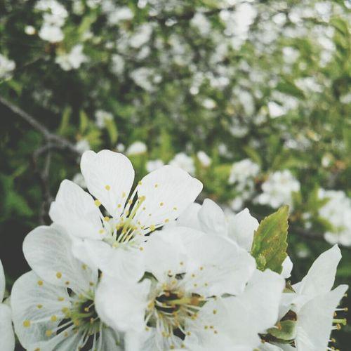 растения Россия Весна💐🌷🌿 весна русскаяприрода вишня цветет цветущаявишня красотаприроды красота💕🌸🌹 Май🌷🍀🌺 май Flower