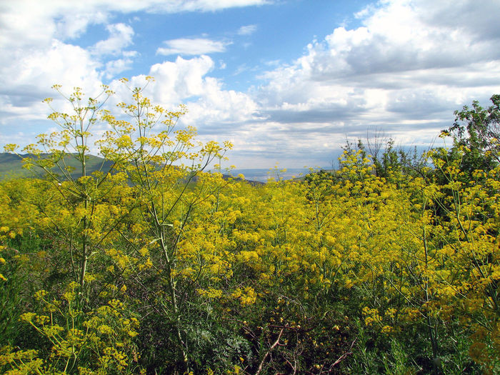 Yellow flowers Beauty In Nature Cloud - Sky Flower Growth Landscape Nature No People Yellow