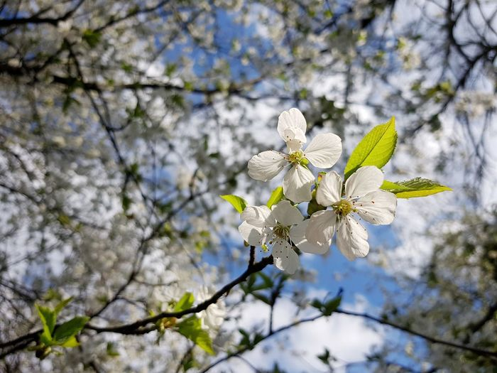 Frühling Blue Blue Sky Spring Springtime Flower Tree Branch Springtime Petal Blossom White Color Botany Cherry Tree Cherry Blossom Fruit Tree Blooming In Bloom