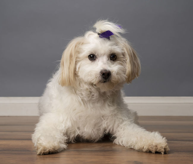 Animal Hair Canine Cute Dog Domestic Domestic Animals Flooring Front View Hair Indoors  Looking At Camera Mammal One Animal People Pets Portrait Sitting Vertebrate White Color