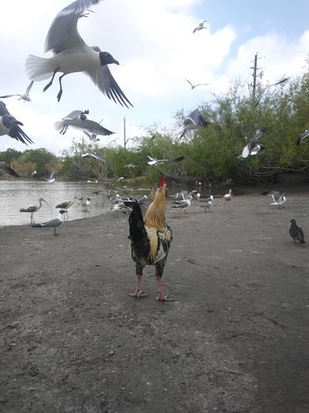 Bird Animal Themes Animals In The Wild Animal Wildlife One Animal Animal No People Outdoors Day Rooster Outcast Chickens EyeEmNewHere