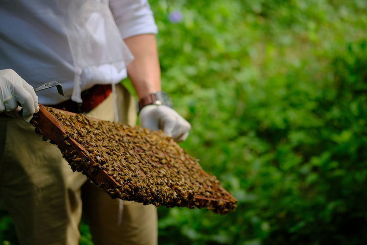 Honeycomb with bees and honey. man holding huge honeycomb in his hand with a lot of bees on it.