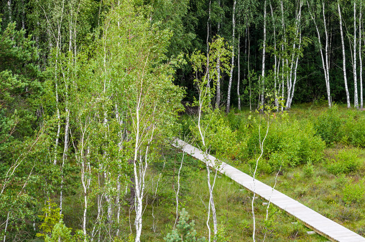 Path in the swamp Beauty In Nature Birch Tree Day Green Color Growth Nature No People Outdoors Swamp Tree