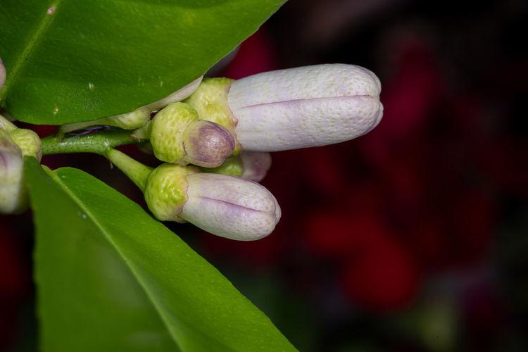 Garden Photography (cont.): After the rain Garden Garden Photography Outdoors No People Rain Raindrops Lemon Blossoms