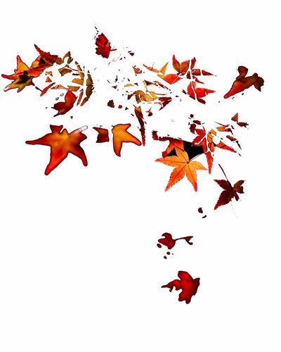 Impression of maple leaves in Autumn White Background Autumn Leaf Red Nature Beauty In Nature Orange Color Leaves Abstract Abstract Photography Impression Maple Autumn colors Portrait Seasonal