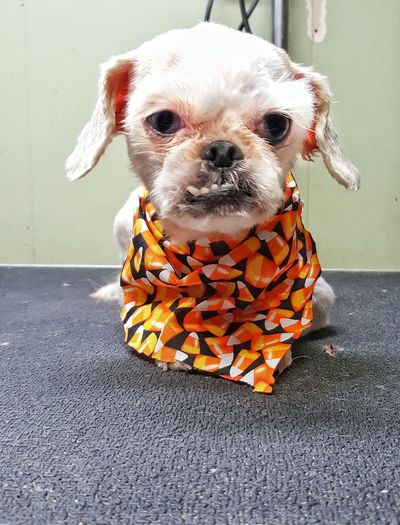 Dog Pets One Animal Animal Themes Domestic Animals Pet Clothing Animal Mammal No People Portrait Day Close-up Outdoors A Face Only A Monther Could Love Cute Dog  Cute Pets Haircut Furfamily Cute Dog  Bandana Grooming Salon Old Dog Grooming Humor Funny Faces