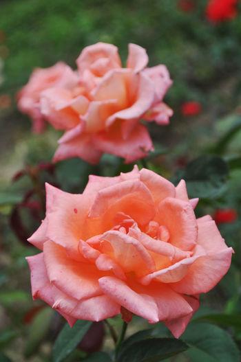 Rose garden at Ratchabur Thailand Beautiful Flowers Flowers Garden Rose Nature Orange Orange Rose Rose Collection Rose Flower Rose Flowers Rose Garden Rose Gardens Roses