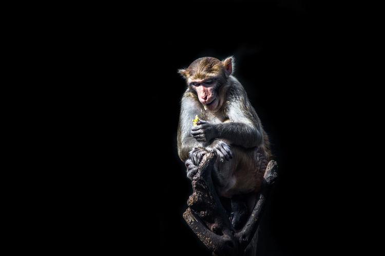 Monkey on twig against black background