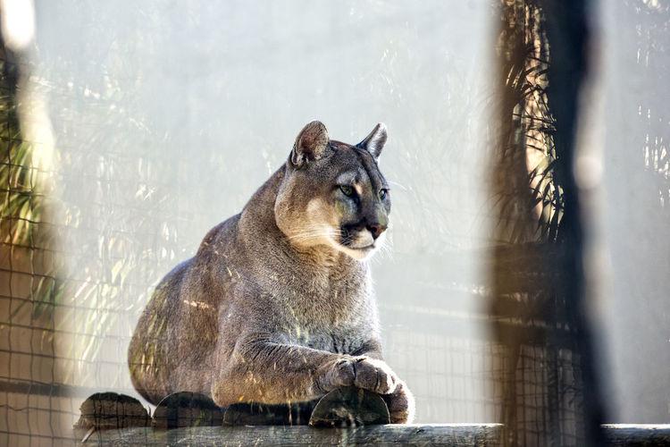Mountain lion at zoo
