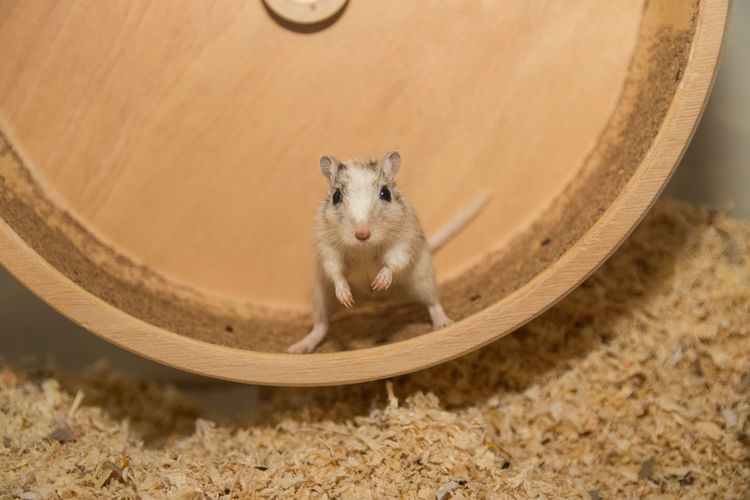 Close-up of mouse on wooden exercise wheel by sawdust