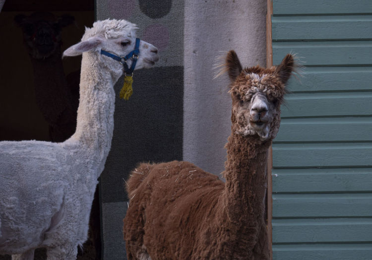 Alpaca animals vicugna pacos on a farm in sweden