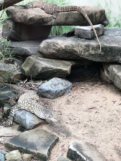 Rock - Object Day No People Outdoors Reptile Nature Animals In The Wild