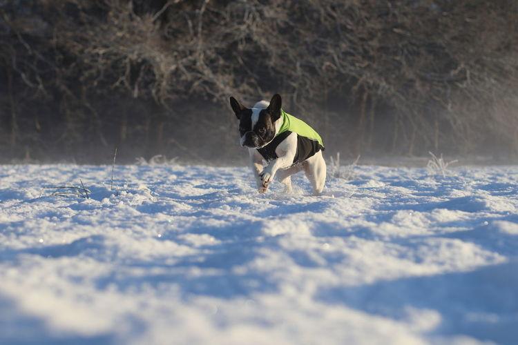 Dog running on snow during winter