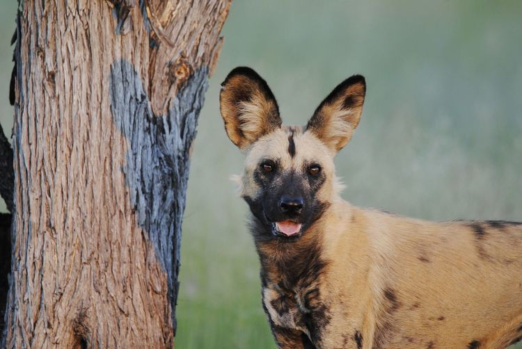 Wild dog at sunset African Wild Dog Safari Botswana Okavango Delta Wild Dog Portrait Dog Looking At Camera Happiness Alertness Smiling Close-up Animal Tongue Ear Canine Sticking Out Tongue