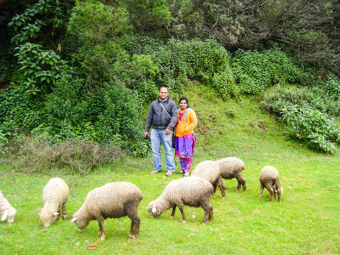 MAN, WOMAN, AND SHEEP... Newly Married Couple Man And Woman Tree Sheep Togetherness Wool Field Men Full Length Grass Livestock Green Color Flock Of Sheep Lamb Grazing Herbivorous Domestic A New Beginning Pasture