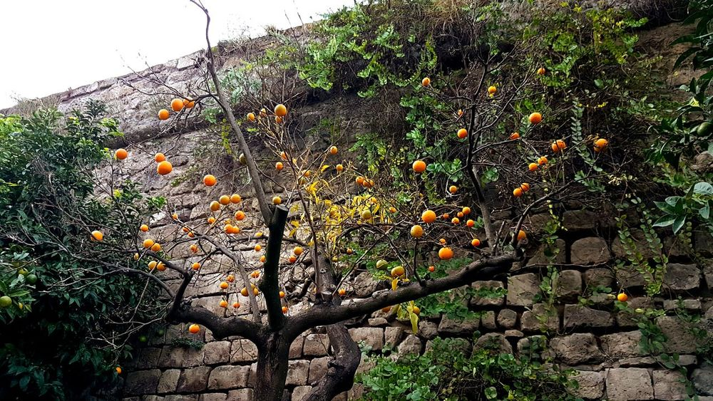 Orange Tree Without Leaves Infront Of An Old Wall In Sorrento Italy